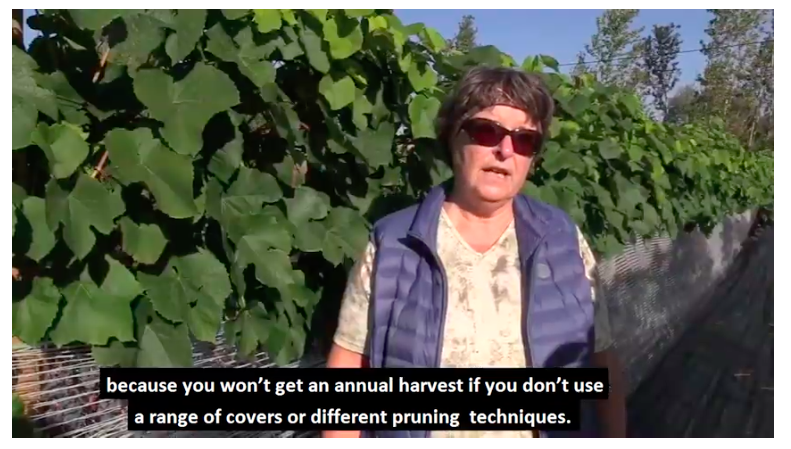 Vineyards in Estonia's volatile climate and production conditions